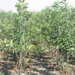 Вирощування саджанців дерев