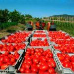 Вирощування помідорів бізнес