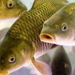 Розведення риби як бізнес