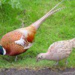 Розведення фазанів як бізнес